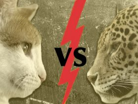 House Cat versus Leopard